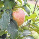 Horne Creek helps Africans grow apples